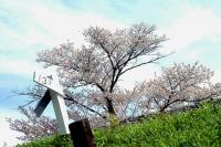 線路脇の桜